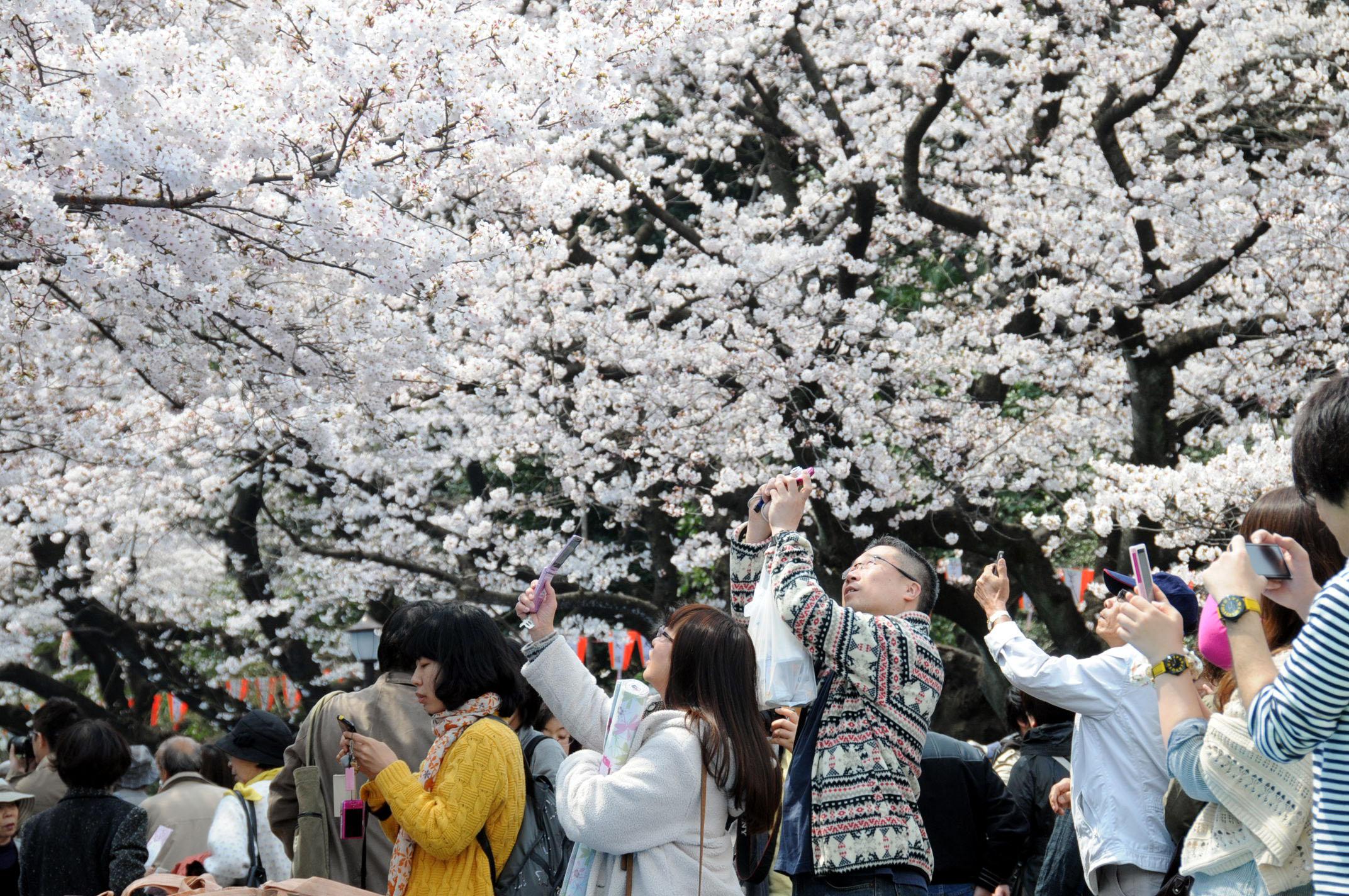Весеннее цветение сакуры.jpg